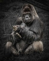 The Male Gorilla Fine Art Print