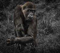 Gorillas Fine Art Print