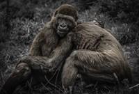 Gorillas 2 Fine Art Print