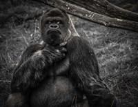 The Male Gorilla 2 Black Fine Art Print