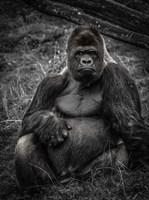 The Male Gorilla 3 Fine Art Print