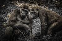 Gorillas 3 Fine Art Print