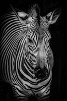 Zebra 3 Black & White Fine Art Print