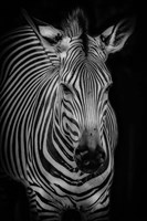 Zebra 3 Black & White Fine Art Print