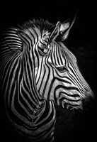 Zebra 4 Black & White Fine Art Print