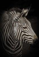 Zebra 4 Fine Art Print