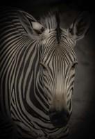 Zebra 5 Fine Art Print