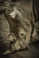 Male Rhino Fine Art Print