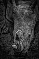 Male Rhino 2 Black & White Fine Art Print