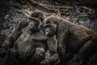 Gorillas 4 Fine Art Print