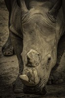 Male Rhino 2 Fine Art Print
