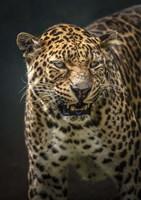 Angry Jaguar 2 Fine Art Print