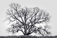 Grand Oak Tree I Fine Art Print