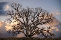 Grand Oak Tree II Fine Art Print