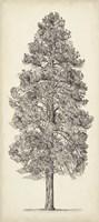 Pacific Northwest Tree Sketch III Fine Art Print