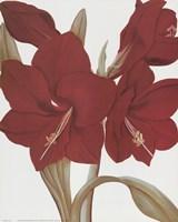 Amaryllis II Fine Art Print