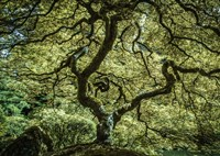 Maple Tree 3 Fine Art Print