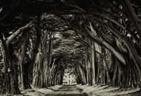Cypress Trees Sepia Fine Art Print