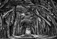 Cypress Trees Black & White Fine Art Print
