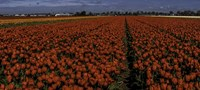 Tulip Field 2 Crop 2 Fine Art Print