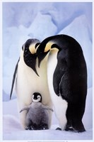 Penguin Family Portrait Fine Art Print