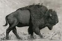 Basking Buffalo Fine Art Print