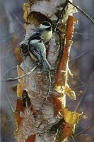 Black-Capped Chickadees - Sunlit Birch Fine Art Print
