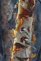Black-Capped Chickadees - Sunlit Birch II Fine Art Print
