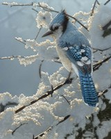 Blue Jay - On the Fence Fine Art Print