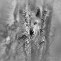 Wolf - Focused - B&W Fine Art Print