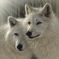 Wolves - Sunlit Soulmates Fine Art Print