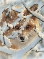 Red Fox - Hide and Seek Fine Art Print