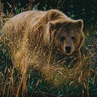 Brown Bear - Crossing Paths Fine Art Print