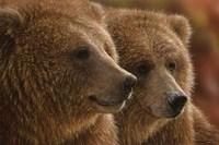 Brown Bears - Lazy Daze Fine Art Print