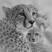 Cheetah Mother and Cubs - Mother's Love - Square - B&W Fine Art Print