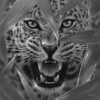 Jaguar - Ambush - B&W Fine Art Print