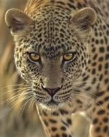 Leopard - On the Prowl Fine Art Print