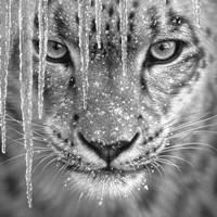 Snow Leopard - Blue Ice - B&W Fine Art Print