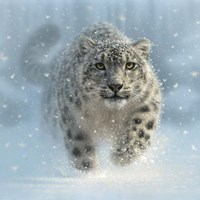 Snow Leopard - Snow Ghost Framed Print