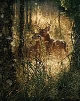 Whitetail Deer - A Golden Moment Fine Art Print