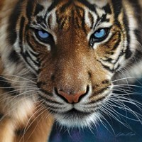 Tiger - Blue Eyes Fine Art Print