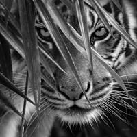 Tiger - Blue Eyes Bamboo - B&W Fine Art Print