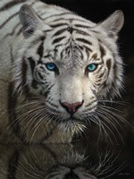 White Tiger - Into the Light Fine Art Print