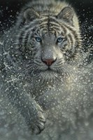 White Tiger - West and Wild Fine Art Print