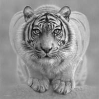 White Tiger - Wild Intentions - B&W Fine Art Print