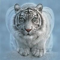 White Tiger - Wild Intentions Square Fine Art Print