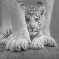 White Tiger Cub - Sheltered - B&W Fine Art Print