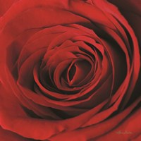 The Red Rose II Fine Art Print