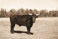 Bull in Sepia Fine Art Print