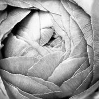 Ranunculus Abstract III BW Light Fine Art Print